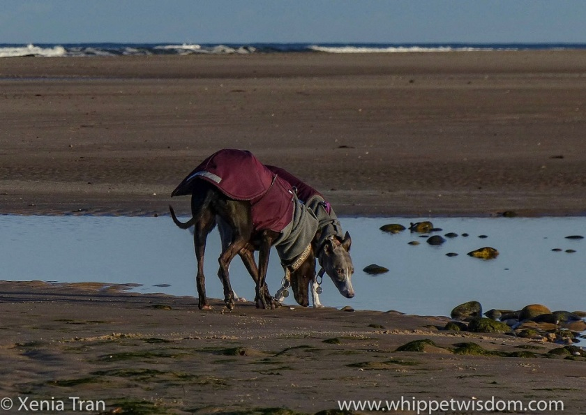two whippets in maroon winter jackets bending down by a tidal lagoon