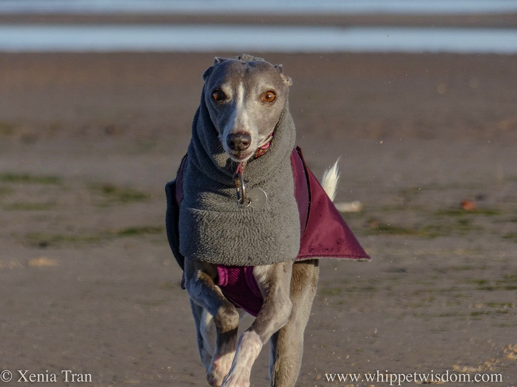 close up shot of a blue whippet in a grey and maroon winter jacket running towards the camera