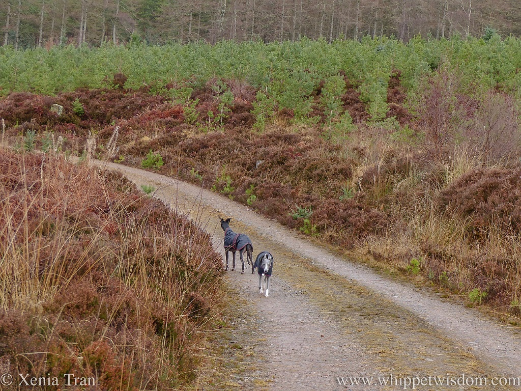 two whippets in black winter jackets on a forest trail beside young trees and brown grass