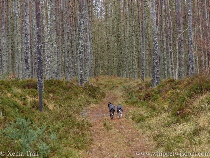 two whippets in black winter jackets walking side by side down a narrow forest trail