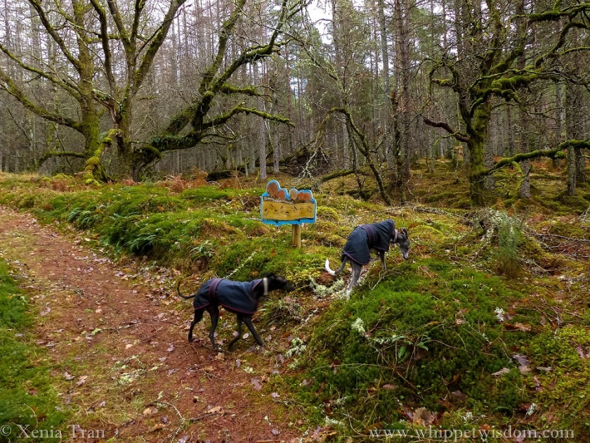 two whippets in black winter jacket on a forest trail with light rain