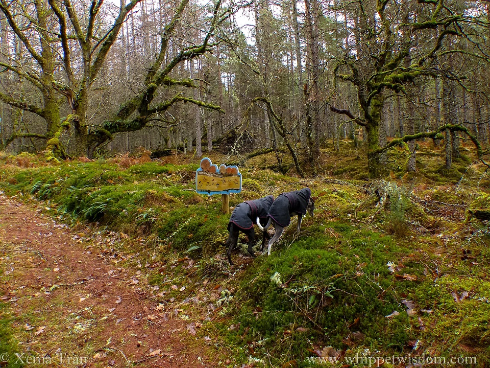 two whippets in black winter jackets sniffing a fallen tree in a wet winter forest