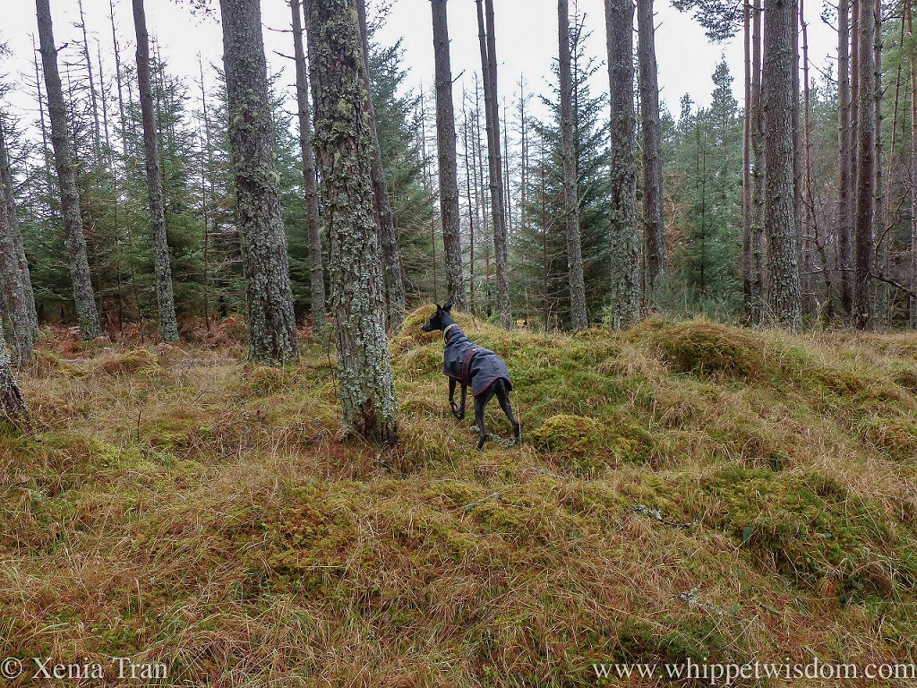 a black whippet in a black winter jacket climbing onto a bank beside a forest trail