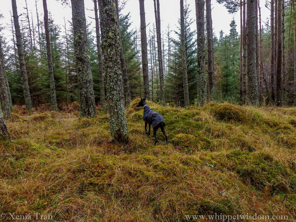 a black whippet in a black jacket standing on a forest hill