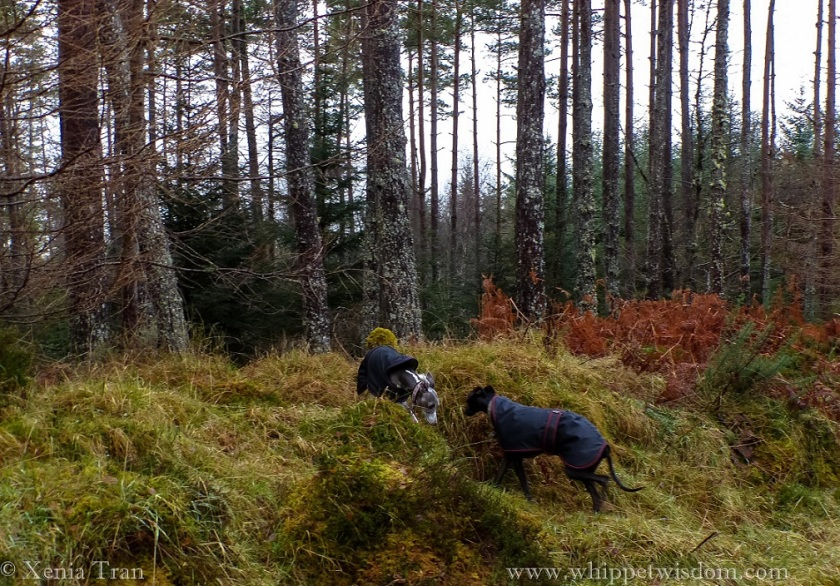 two whippets in winter jackets walking towards each other on a slope in a winter forest