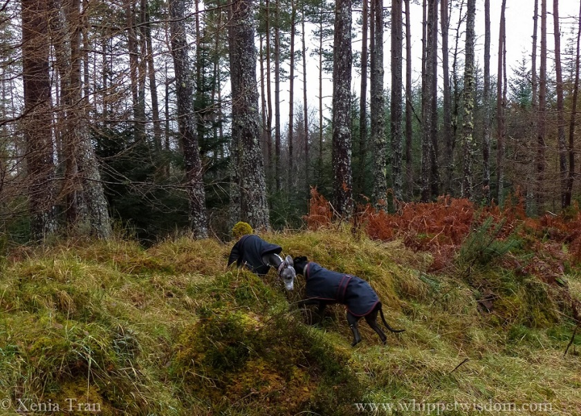 two whippets in winter jackets passing each other on an incline in a winter pine forest