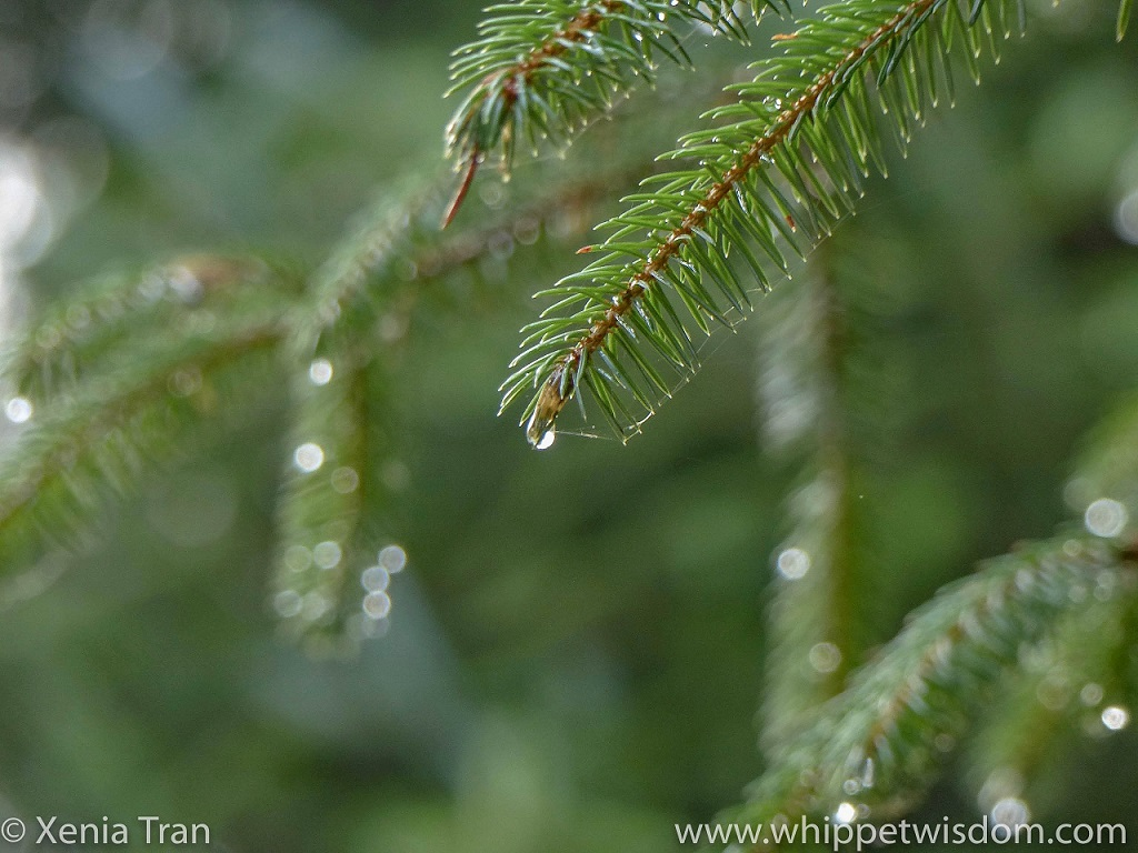 close up shot of raindrops hanging of the branch of a fir tree