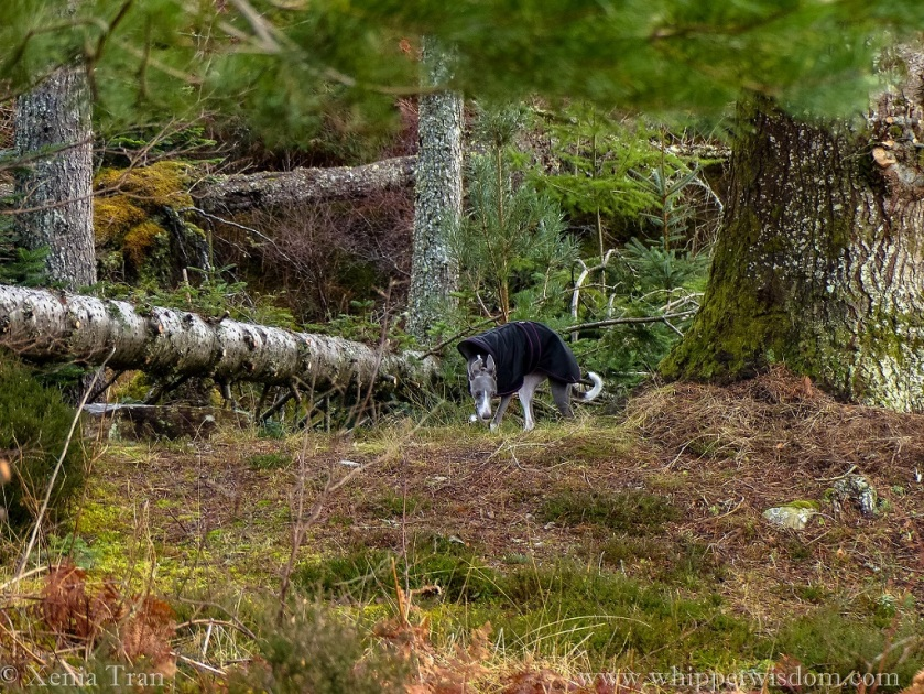 a blue whippet in a black winter jacket beside a large pine and a fallen tree