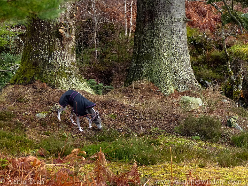a blue whippet in a black winter jacket sniffing the ground beneath ancient pine