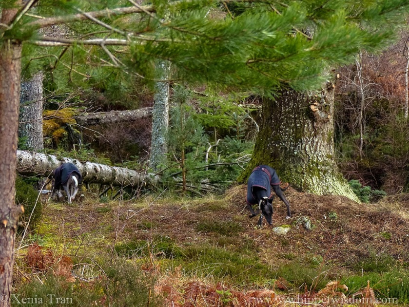 two whippets in black winter jackets in the forest