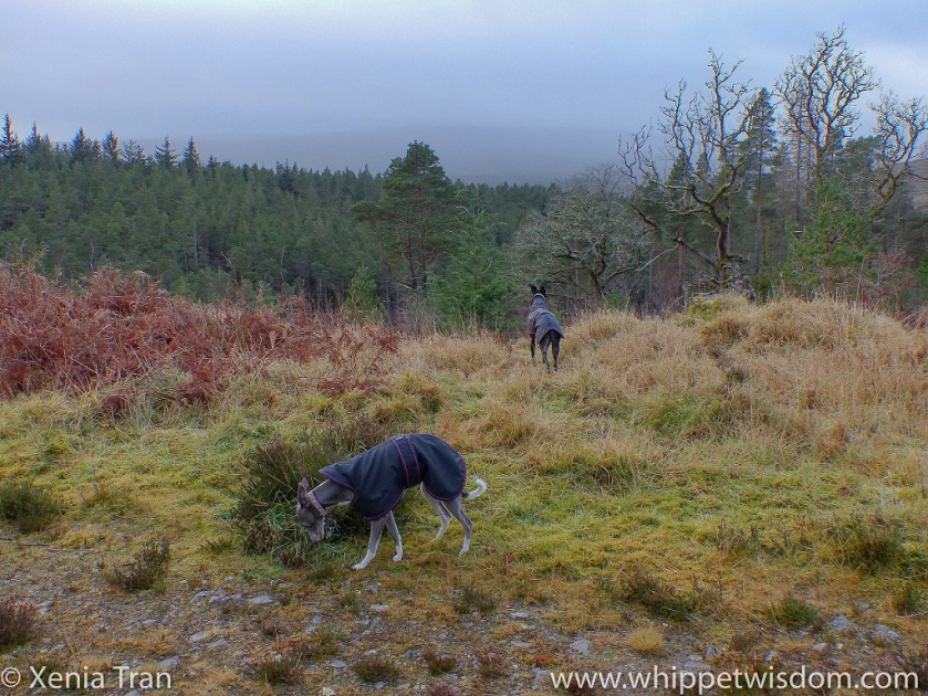 a blue whippet in a winter jacket sniffing the grass and a black whippet in a winter jacket enjoying the view
