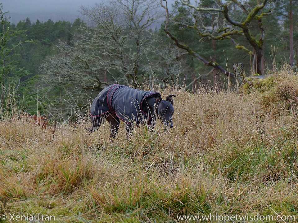 a black whippet in a black winter jacket walking through tall golden grass on top of a hill