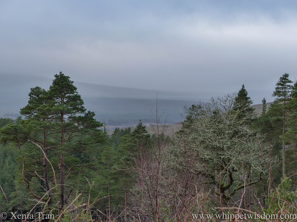 view above the pine trees over Glen Oykel in the mist and rain