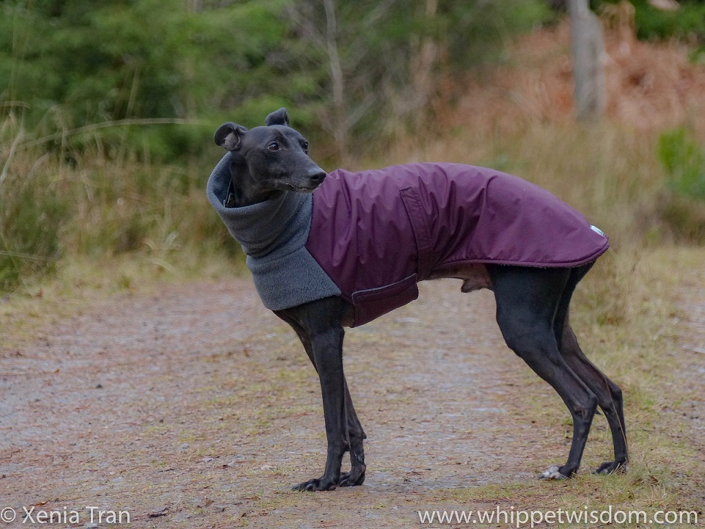 a black whippet in a maroon and grey winter jacket looking over his left shoulder on a winter forest trail