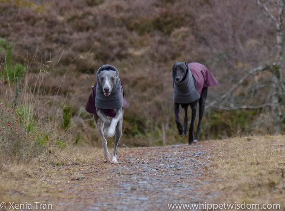 action shot of a blue whippet in a winter jacket running over a brow towards the camera, followed by a black whippet