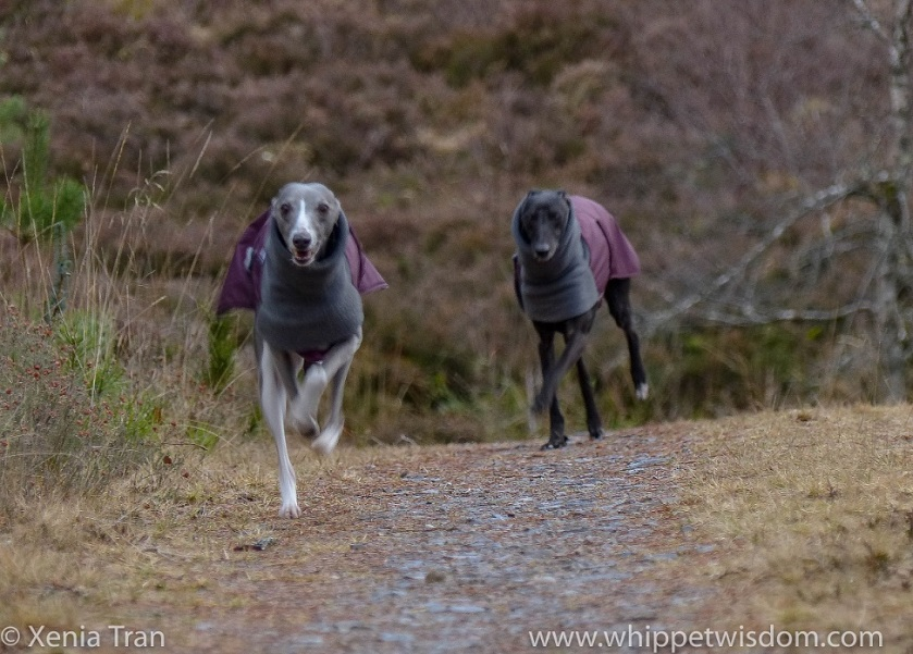 action shot of a blue whippet in a winter jacket running up a hill towards the camera, followed by a black whippet