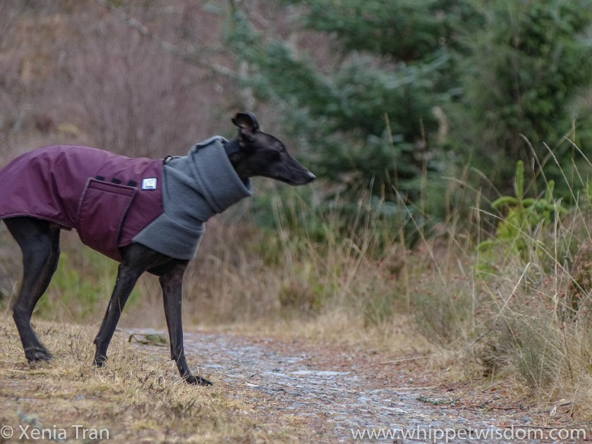 a black whippet in a maroon winter jacket on a forest trail