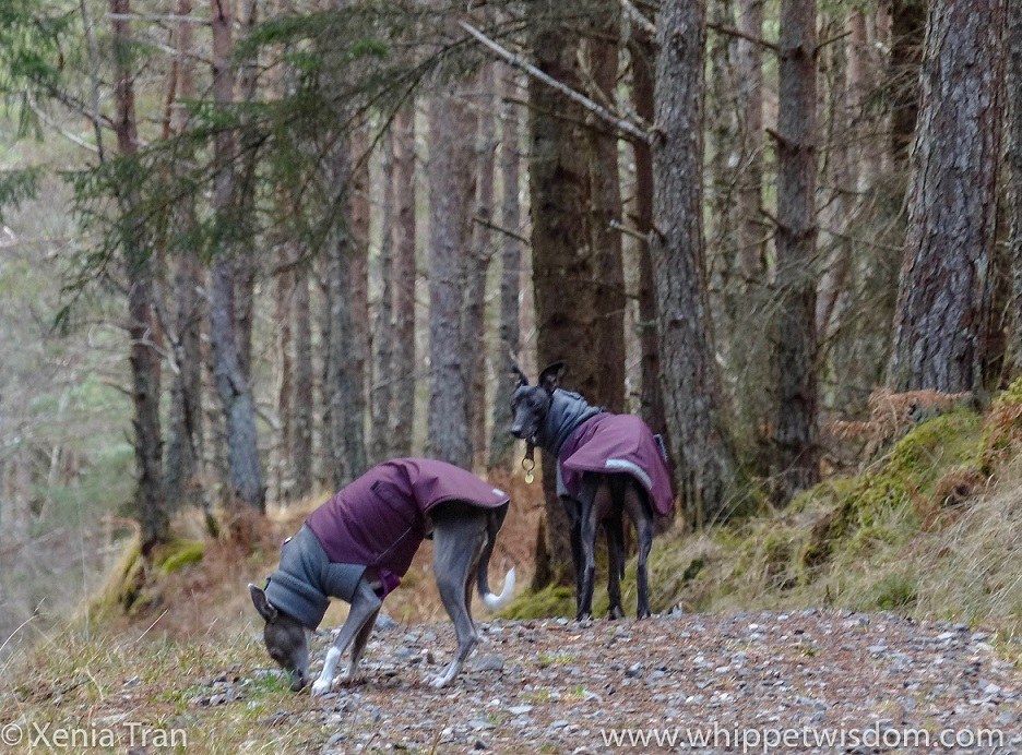 two whippets in winter jackets on a forest trail, one sniffing the ground