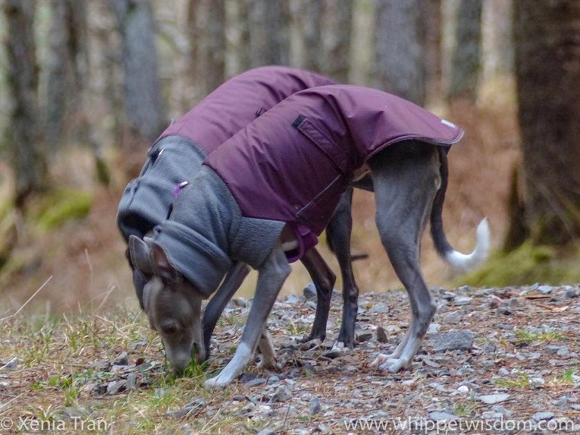 two whippets in maroon winter jackets bending down side by side to sniff the grass on a forest trail
