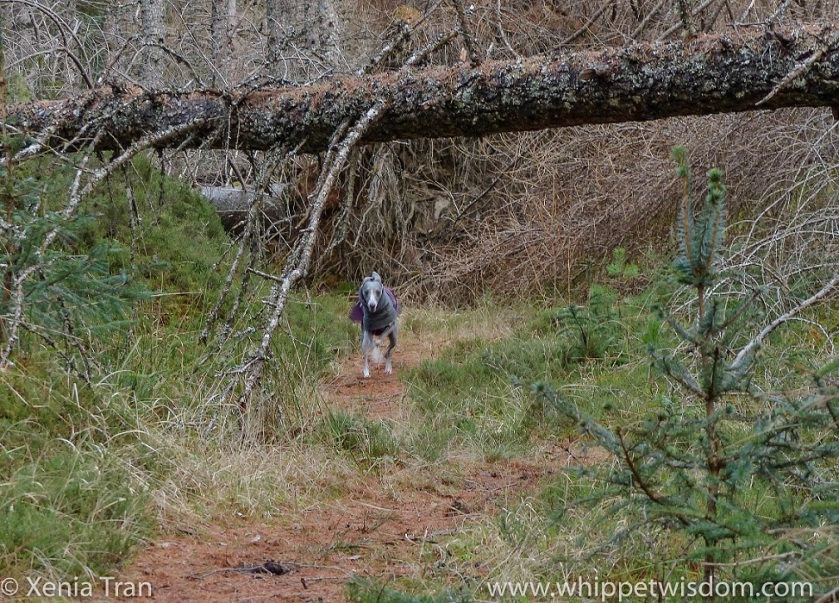 a blue whippet in a maroon winter jacket running along the forest trail beneath the fallen pine