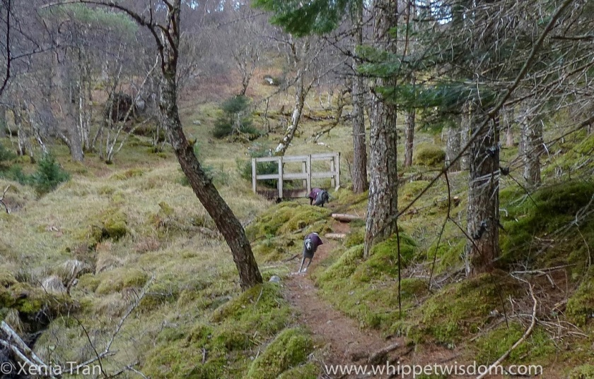 two whippets in winter jackets running towards the camera along a forest trail beside a stream