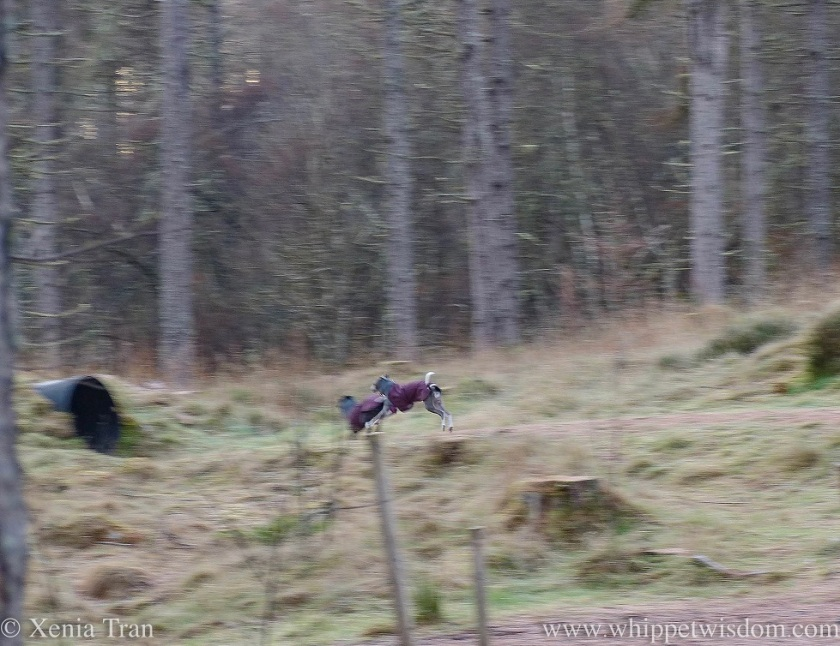 two whippets in maroon winter jackets chasing each other through the forest