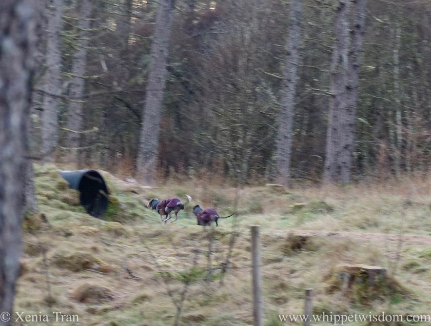 a blue whippet in a maroon winter jacket leaping past a black whippet in a maroon winter jacket on a forest trail