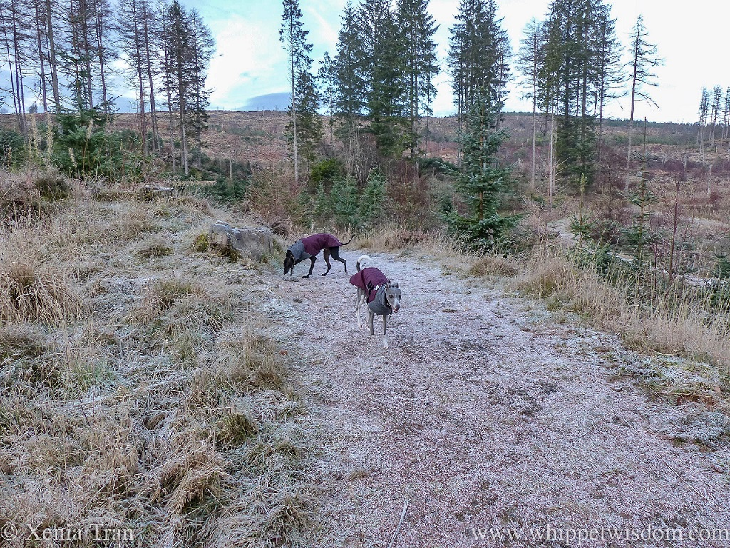two whippets in maroon winter jackets on a frosty forest trail with hills in the background