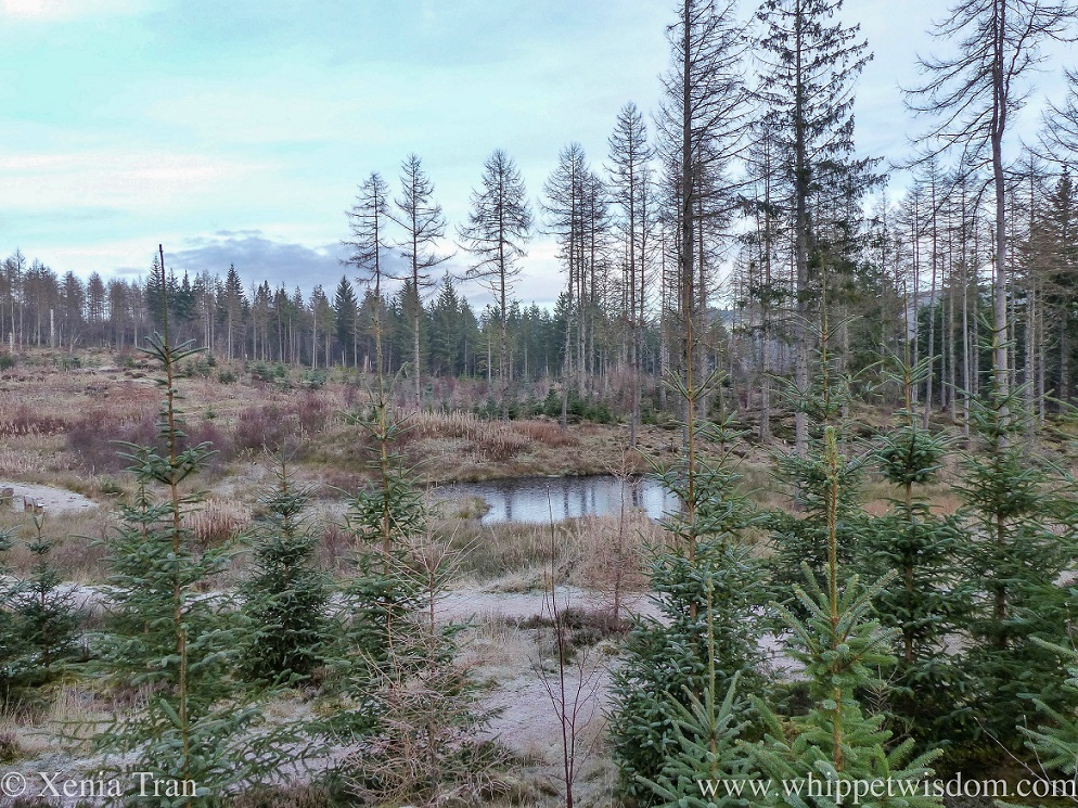 a frozen pond in Achany Forest with pine and fir trees in the foreground