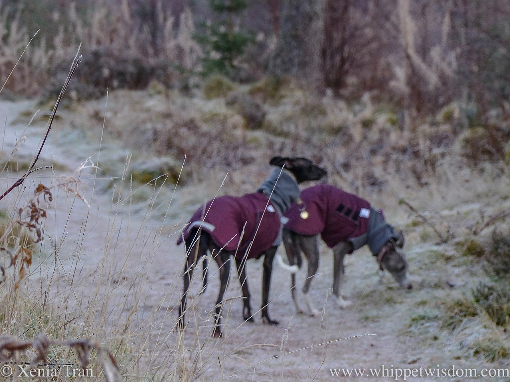 a dreamy blurry image of two whippets in winter jackets on a frozen forest trail