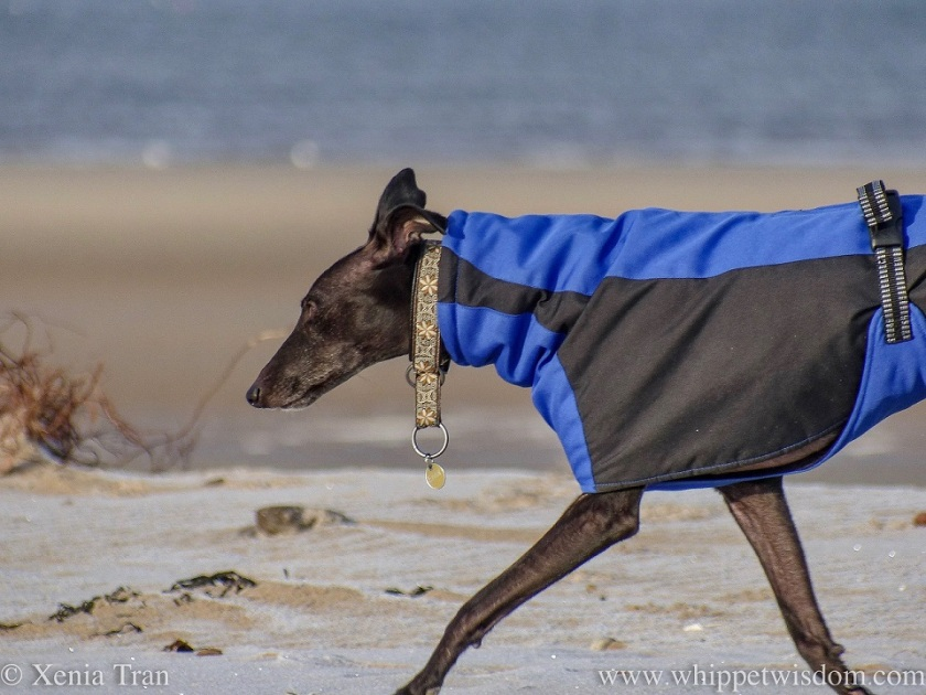 a black whippet in a blue and black winter jacket striding out along the beach