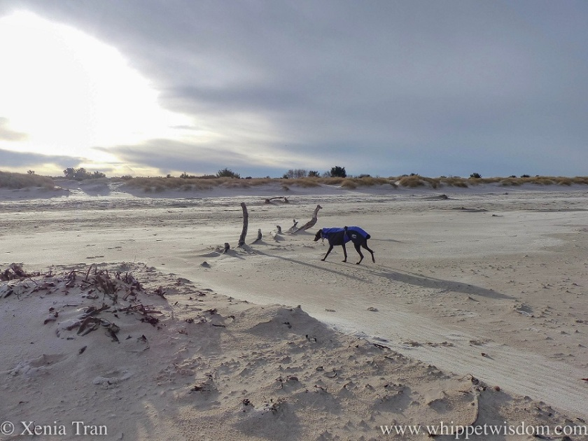 a black whippet in a blue and black winter jacket approaching a partially covered driftwood tree on the beach