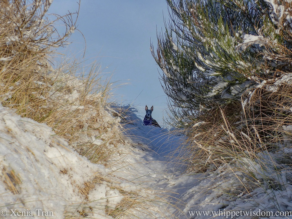 a blue whippet peeping over the snow-covered dunes