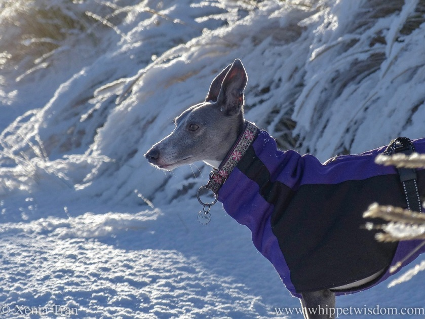close up shot of blue whippet in a purple and black winter jacket looking out over the snow-covered bent grass