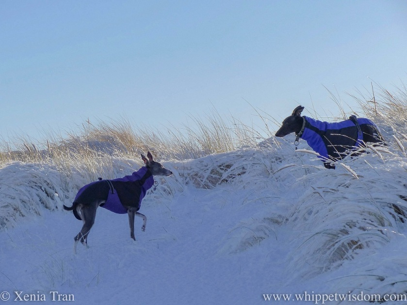 two whippets in winter jackets looking into each other's eyes in snow-covered dunes