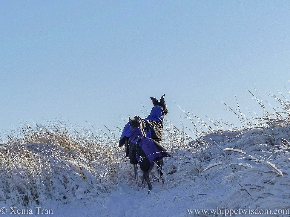 a blue whippet in a winter jacket following a black whippet in a winter jacket up the snow covered dunes