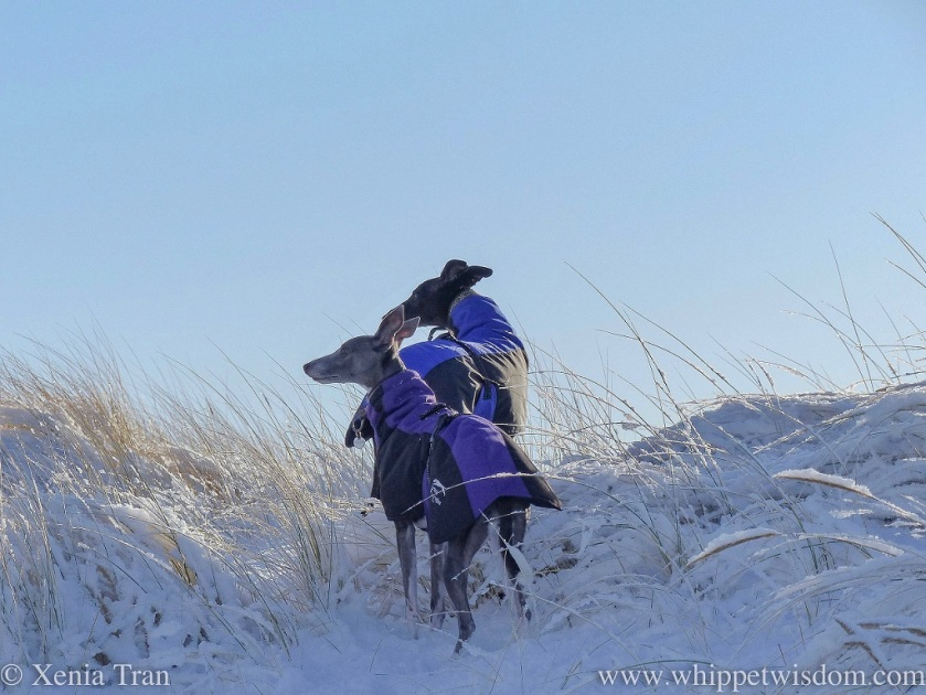 a blue whippet in a winter jacket and a black whippet in a winter jacket standing on top of snow covered dunes