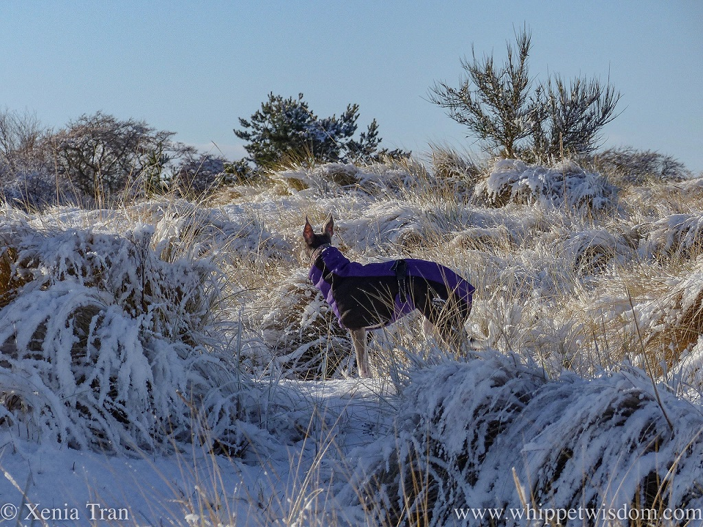 a blue whippet in a purple and black winterjacket in snow-covered dunes