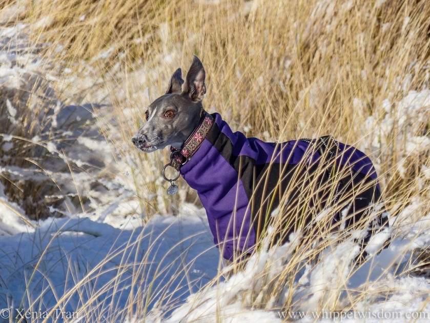 a blue whippet in a purple and black winter jacket in snow-covered dunes