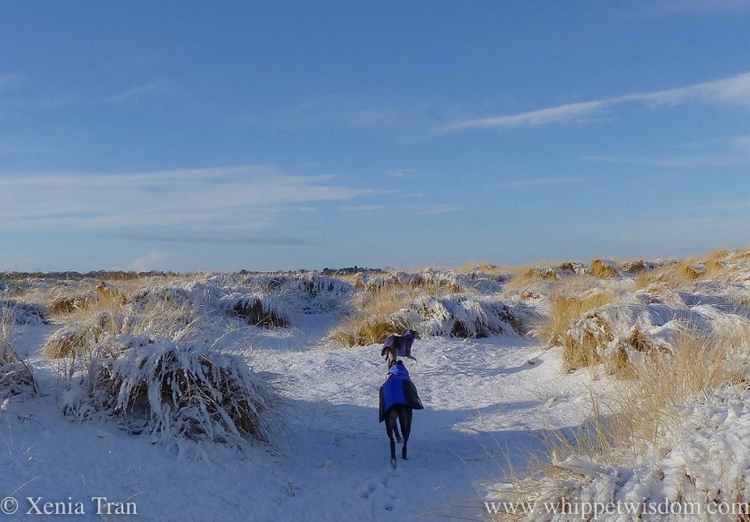 a blue whippet in a purple and black winter jacket and a black whippet in a blue and black winter jacket walking through snow-covered dunes