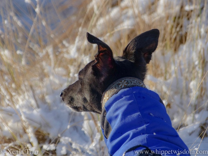 close up shot of black whippet in a blue winter jacket looking over the snow-covered bent grass