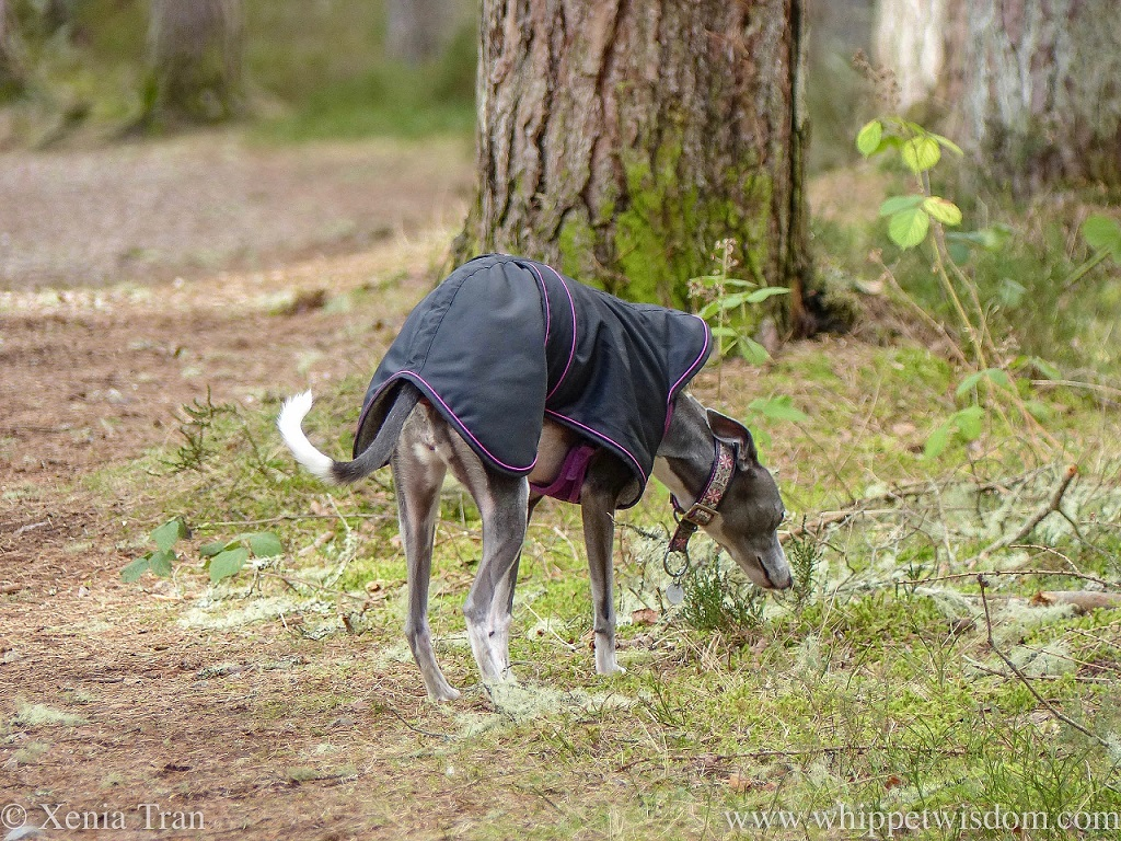 a blue whippet in a black winter jacket sniffing the grass between the pine trees