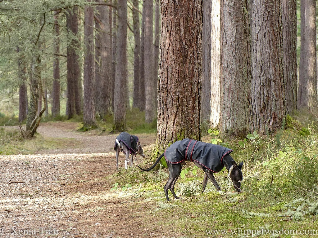 a black whippet in a black winter jacket sniffing the grass between the pine trees, a blue whippet in a winter jacket walking behind him