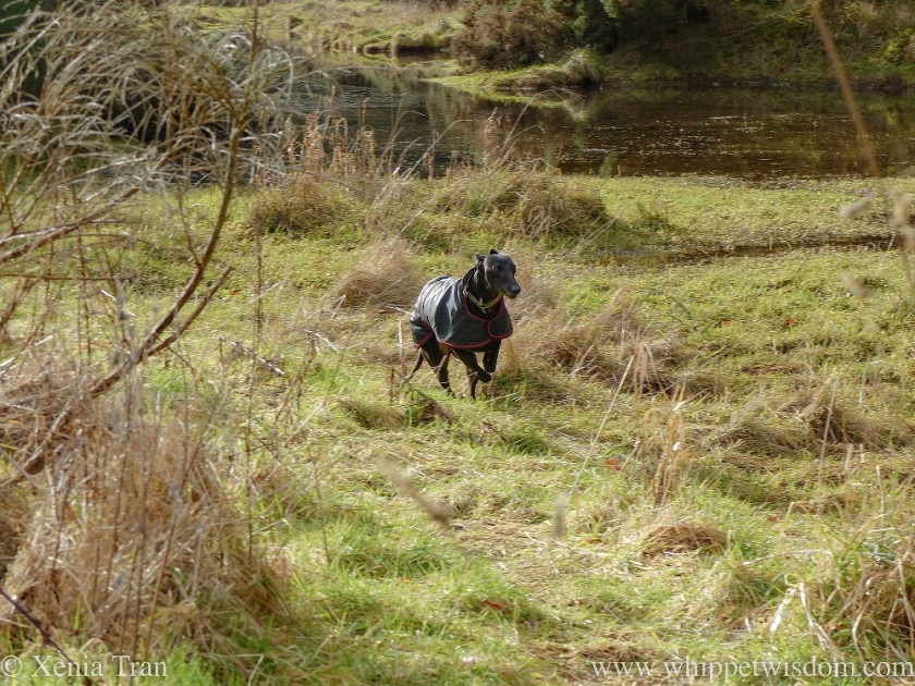a black whippet in a black winter jacket running through the grass beside a burn