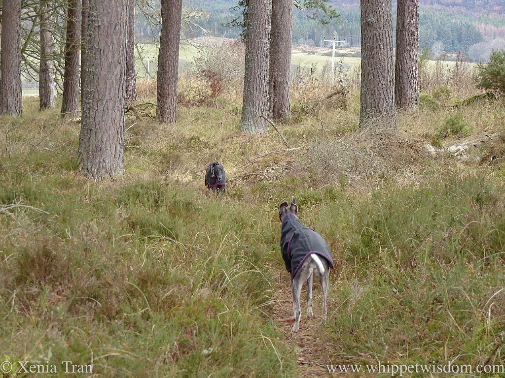 two whippets facing each other on a narrow forest trail, ready to play