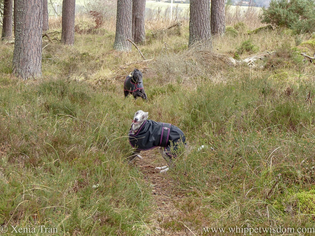 two whippets running and playing on a narrow forest trail