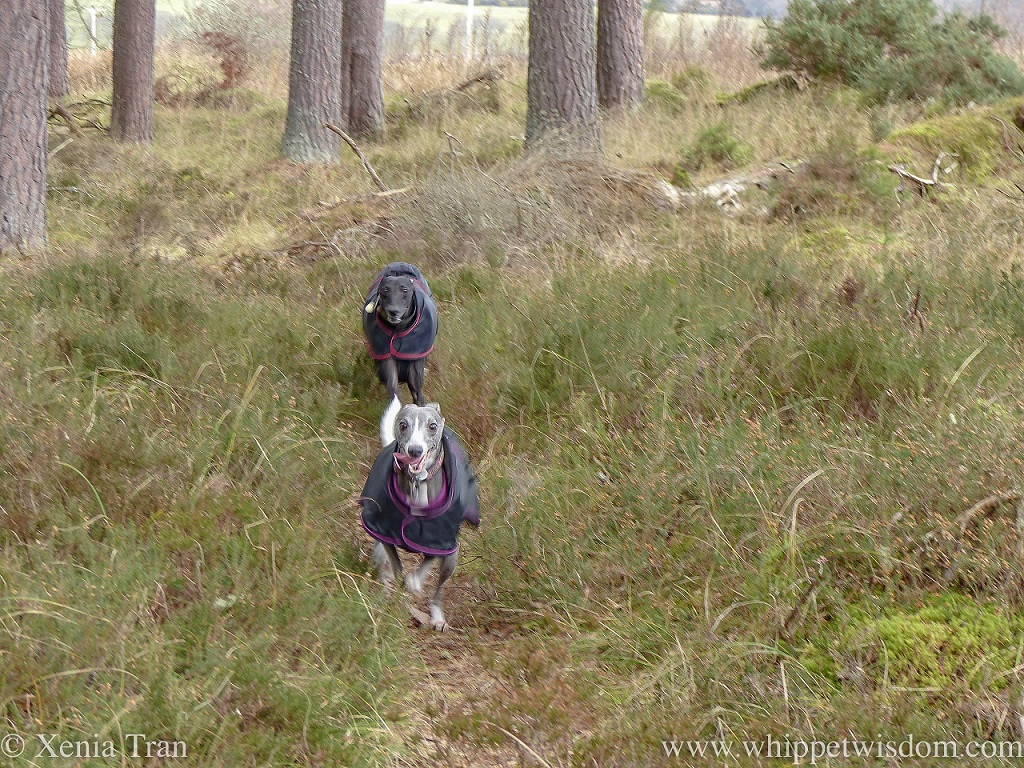 a black whippet and a blue whippet running towards the camera between the pine trees