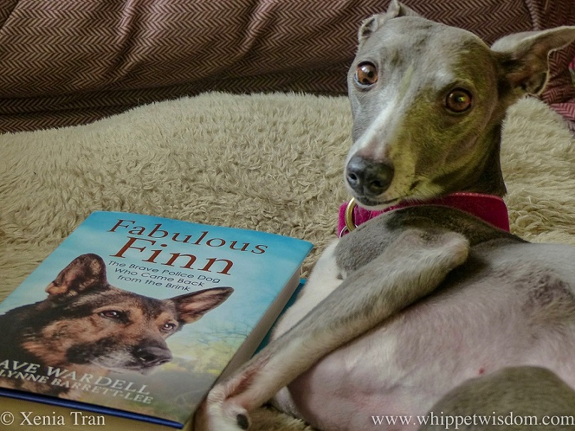 close up portrait of a blue and white whippet with a copy of Fabulous Finn by Dave Wardell