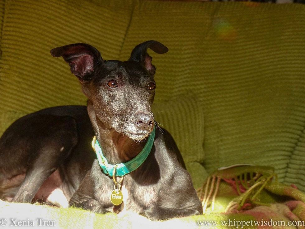 a black whippet with a green collar sitting on a blanket and green sofa