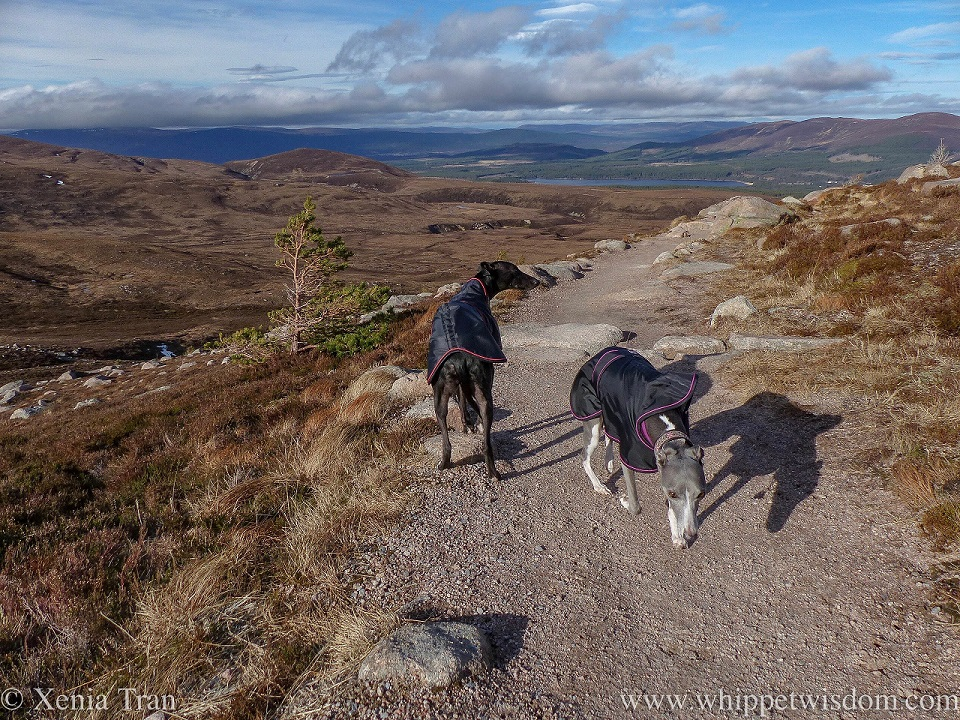 a blue whippet and a black whippet in black winter jackets on a mountain trail with views of Loch Morlich